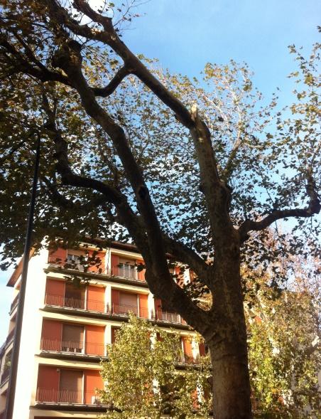 Firenze, il ramo spezzato sul platano del viale Mazzini
