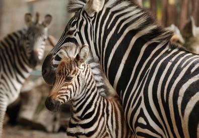 La nuova nata con la mamma nella zoo di Pistoia