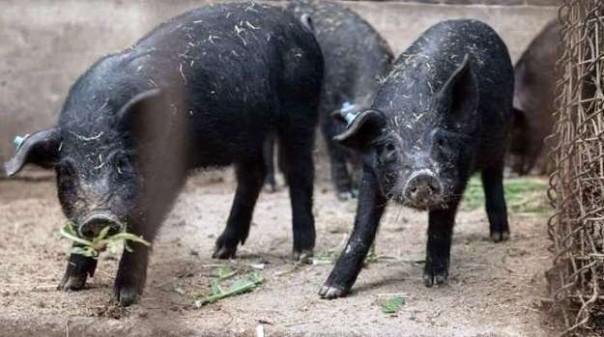 Toscana, 20 razze di animali sarebbero in via di estinzione