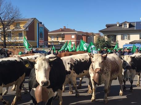 Marcia delle vacche