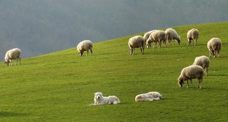 Pecore gregge greggi cane pastore maremmano cucciolo