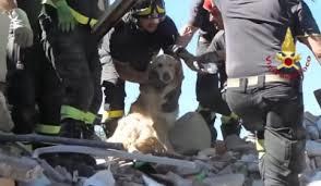 Romeo, il cane golden retreiver estratto vivo, ad Amatrice, dai vigili del fuoco dopo essere stato 10 giorni sotto le macerie