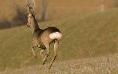 Un capriolo in libertà sulle colline (foto F. Cianchi)
