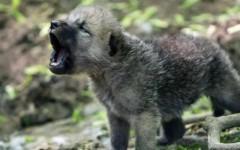 Bambini trovato cucciolo di lupo ferito in incidente