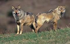 Monteriggioni (Siena): branco di lupi aggredisce pecore e montoni. 30 ovini uccisi