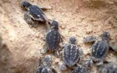 Ventidue piccole tartarughe Caretta Caretta sulla spiaggia nel grossetano