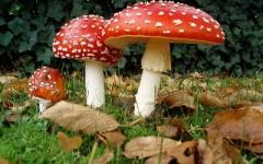 Funghi velenosi, 5 intossicati nell'aretino