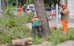 Firenze, viale Mazzini: il grande cedro dell'Himalaya sarà abbattuto