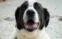 Chiorba, uno dei cani che è proposto in adozione dal parco degli animali di Ugnano