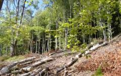 Palazzuolo, la faggeta disboscata illegalmente