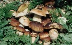 Toscana, funghi: al via una stagione ricca. Ma non bisogna dimenticare le regole (e le precauzioni)