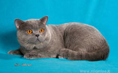 Firenze, gatta pregiata in fuga dalla mostra felina alla fortezza. ritrovata dopo affannose ricerche