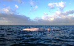 Versilia, carcassa di balenottera morta si spiaggia a Lido di Camaiore