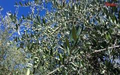 Ulivi della Toscana