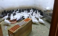 Prato, cinesi macellavano in casa animali: polli, oche e galline a centinaia