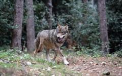 Abbatttimento dei lupi: circolare del Viminale dà via libera a determinate condizioni