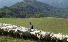 Massa: assalti di lupi ai greggi nelle Apuane, allarme di Coldiretti