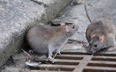 Prato: topi nell'asilo nido. Il comune lo chiude