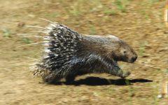 Grosseto: metteva trappole per le istrici in un bosco, denunciato un cacciatore