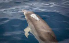 Pisa: delfino spiaggiato a Tirrenia. Ma non è quello che nuotava in Arno