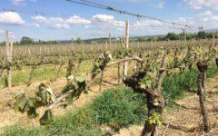 Toscana, gelo killer per il vino: distrutto il 20% dei vitigni. Danni per 80 milioni di euro