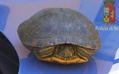 Firenze: tartaruga salvata dalla Polstrada sulla A11, vicino all'aeroporto