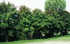Firenze: scatta il piano di rinnovo alberi, con circa 800 impianti e 300 abbattimenti