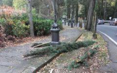 Firenze: giovani cipressi del viale Michelangelo abbattuti da auto pirata