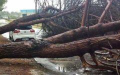 Pisa: platano abbattuto dal vento danneggia quattro auto e due barche