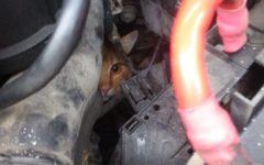 Firenze: gatto nel vano motore per 50 km. Salvato dai pompieri