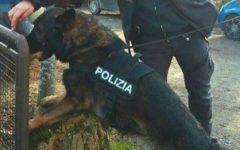 Firenze: Amper, cane poliziotto, scova 750 gr di droga in un garage di via di Novoli