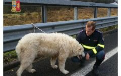 Firenze: cani in fuga sulla Fi-Pi-Li. Salvati dalla Polstrada (Foto)
