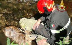 Montecatini: capriolo nel torrente. Salvato dai vigili del fuoco