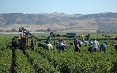Agricoltura: in Italia un lavoratore su tre è un migrante, sono quasi 300.000