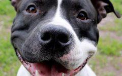 Firenze: cane azzanna il figlio dopo aver mandato all'ospedale la madre