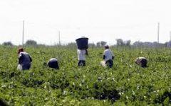 Agricoltura: crescono gli stranieri al lavoro nei campi, sono quasi 347.000